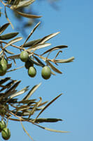 Arizona Olive Tree Fruit Suppression